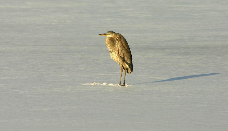 Cold Heron Shadows