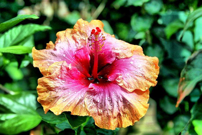 Hybiscus 2