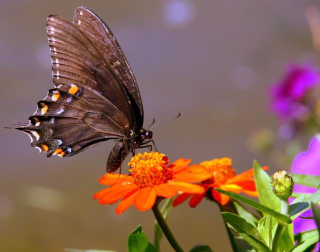 Butterfly 207