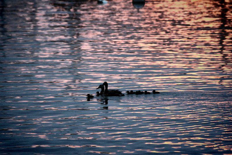 Ducks going home