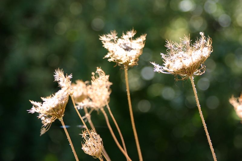 Skelleton weeds
