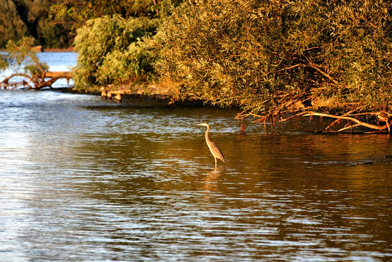 Golden heron