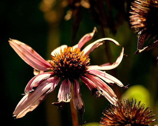 Last bee balm