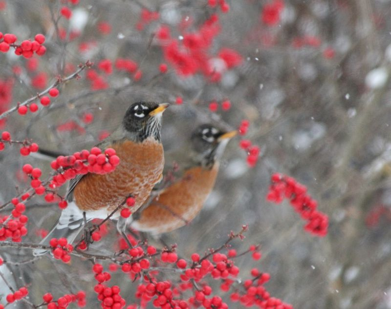 Japanese robins