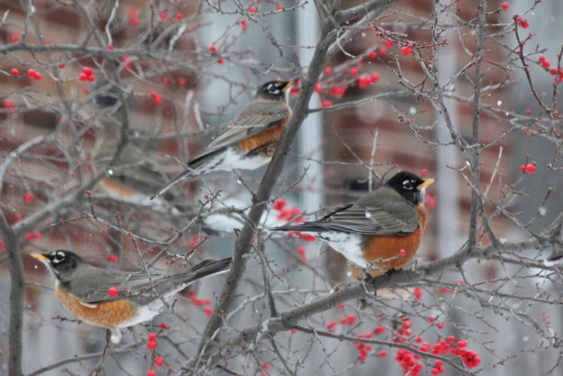 Lots of robins